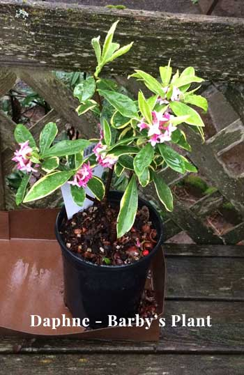 a beautiful daphne plant